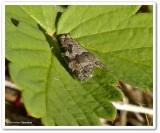 Gray tortrix moth  (Cnephasia stephensiana), #3567.1