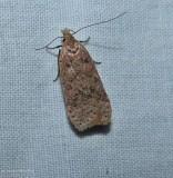 Twirler moth (Dichomeris ventrellus), #2287