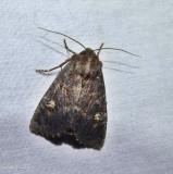 Doubtful apamea moth (Apamea dubitans), #9367