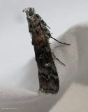 Zimmerman pine moth (Dioryctria zimmermani), #5852