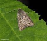 Glassy cutworm moth (Apamea devastator), #9382