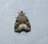 Large mossy glyph moth   (Protodeltote muscosula), #9047