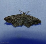 One-spotted variant moth (Hypagyrtis unipunctata), #6654