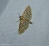 Zigzag herpetogramma moth  (Herpetogramma thestealis) ,#5277