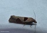Triangle-backed eucosma moth  (Pelochrista dorsisignatana), #3116