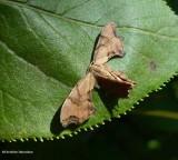 Scoopwings (Family: Uranidae) 7653