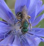 Sweat Bees (Halictidae)