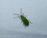 Northern corn rootworm beetle  (Diabrotica barberi)