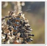 Ailanthus webworm moth  (Atteva aurea), #2401