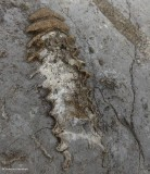 Fossil  (Nautiloid)