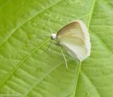 White spring moth  ( Lomographa vestaliata), #6667