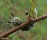 Viceroy butterfly larva  (Limenitis archippus)