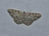 Porcelain gray moth (Protoboarmia porcelaria), #6598