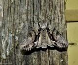 Common hyppa moth (Hyppa xylinoides), #9578