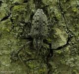 New York weevil (Ithycerus noveboracensis)