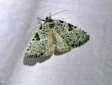 Green leuconycta moth (Leuconycta diphteroides), #9065