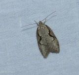 Packard's concealer moth  (Semioscopis packardella), #0912