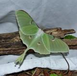 Luna moth (Actias luna), #7758
