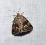 Bog deltote moth (Deltote bellicula), #9046