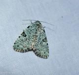 Green leuconycta moth (Leuconycta diphteroides), <#9065