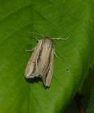 Wheat head armyworm moth (Dargida diffusa), #10431