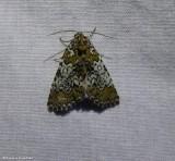 Owl eyed bird-dropping moth (Cerma cora), #9061