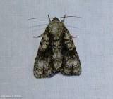 Splendid dagger moth (Acronicta superans), #9226