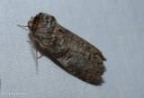 Linden prominent moth (Ellida caniplaga), #7930