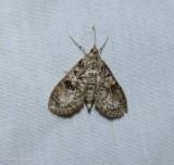 Splendid palpita moth (Palpita magniferalis), #5226