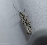 Zeller's ethmia moth  (Ethmia zelleriella), #0992