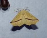 Yellow slant-line moth (Tetracis crocallata), #6963