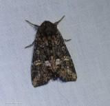 Otter spiramater moth  (Spiramater lutra), #10301
