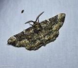 Oak beauty  (Phaeoura quernaria), #6763