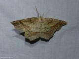Marginal euchlaena moth (Euchlaena marginaria), #6734