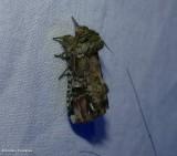 Unicorn prominent moth (Schizura unicornis), #8007