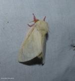 Rosy maple moth  (Dryocampa rubicunda), #7715
