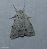 Cottonwood dagger moth (Acronicta lepusculina), #9205
