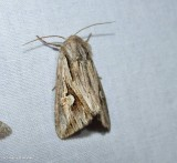 Gray half-spot moth (Nedra ramosula), #9582