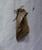 Cattail borer moth  (Bellura obliqua), #9525