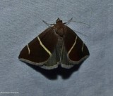 Short-lined chocolate moth   (Argyrostrotis anilis), #8764