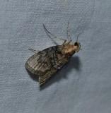 Pyralid moth (Pococera)