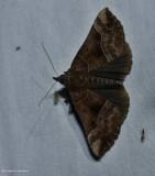 Deceptive hypena moth (Hypena deceptalis), #8446