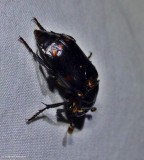 Carrion beetle (Nicrophorus pustulatus)