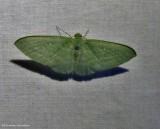 Badwing moth (Dyspteris abortivaria), #7648