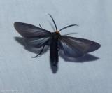 Yellow-collared scape moth (Cisseps fulvicollis), #8267