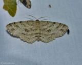 Signate melanolophia moth (Melanolophia signataria), 6621