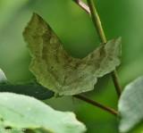 Pale metarranthis moth (Metarranthis indeclinata), #6825