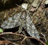 Waved sphinx  (Ceratomia undulosa), #7787