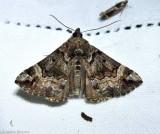 Mottled hypena (Hypena palparia), #8444