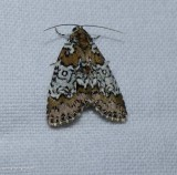 Owl-eyed bird-dropping moth  (Cerma cora), #9061